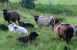 Norwegian villsau sheep.